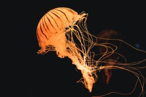 what do you do if you are stung by a jellyfish